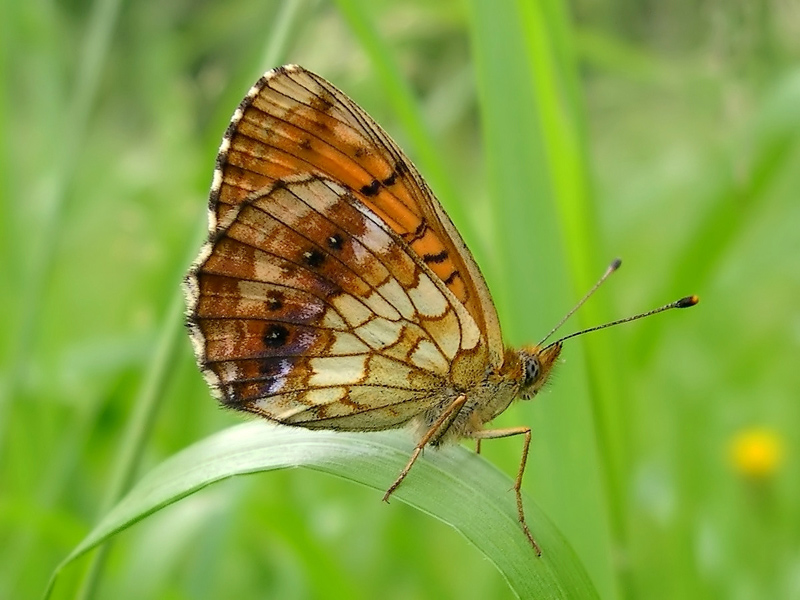 Lesser Marbled Fritillary / Brenthis ino