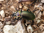 Title: Today photo: Carabus morbillosus