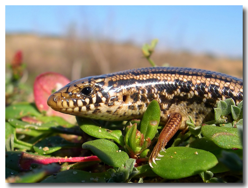 Not only Insects / Ocellated Skink