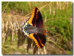 Title: Broad-winged Charaxes jasius