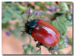 Title: Chrysolina grossa / Red Leaf Beetle