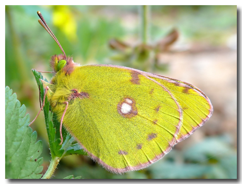 My first 2008 butterfly / Colias croceus