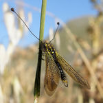 Title: Owlfly - Libelloides ictericus siculus