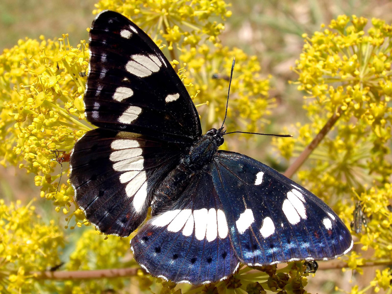 Limenitis reducta / South. White Admiral