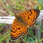 Title: Aetherie Fritillary / male
