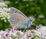 Title: Meleager�s Blue/Polyommatus daphnis male