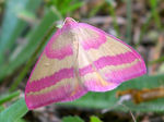Title: A beautiful pink geometer moth