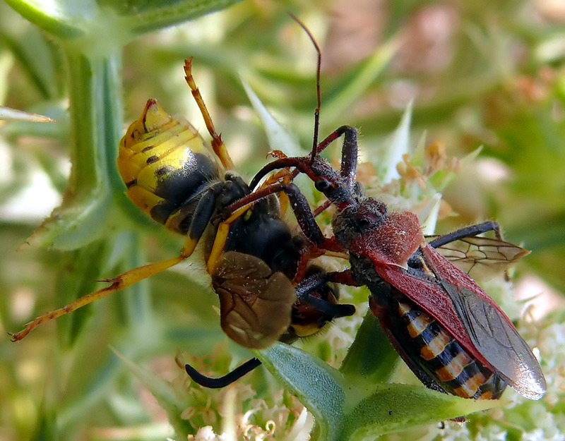 Assassin bug in action