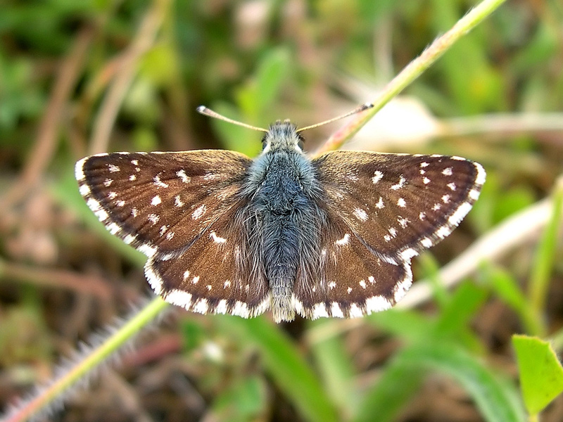 Orbed Red-underwing Skipper