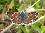 Title: Orbed Red-underwing Skipper