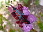 Title: Zygaena oxytropis mating on Orchis