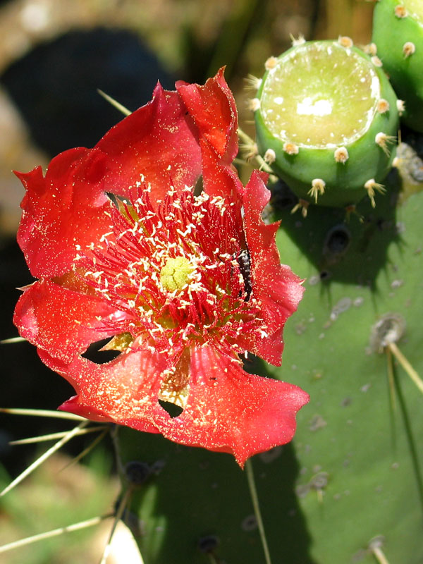 Opuntia flower for SC Davidson