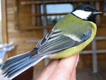 Title: Parus major(Linnaeus, 1758)