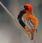 Title: Red Bishop