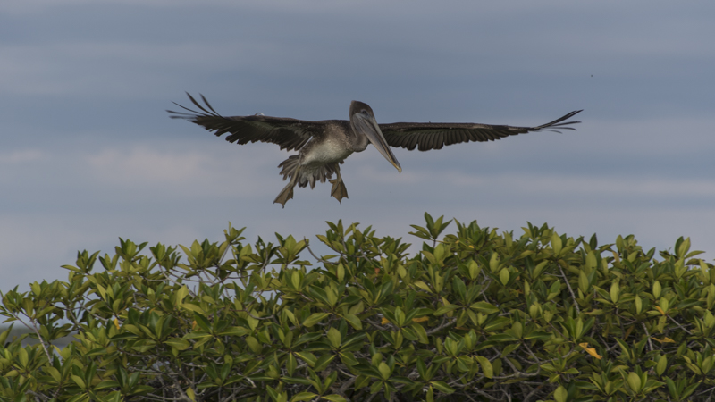 The Brown Pelican of Galapagos