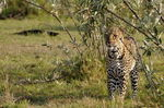 Title: Leopard - one of the