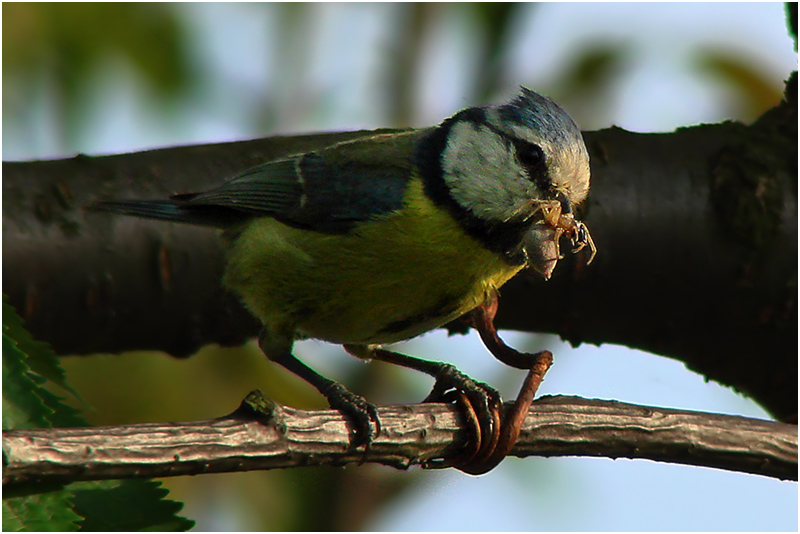 Blue tit with spider