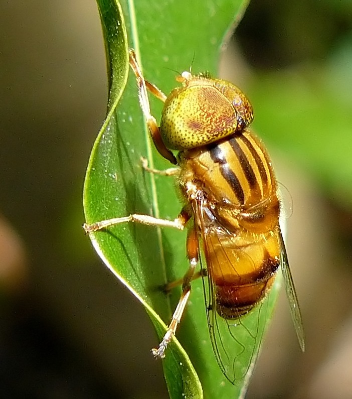 A Brown Fly