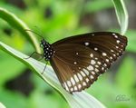 Title: Crow Butterfly resting