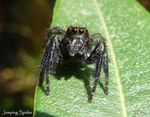 Title: Jumping spider