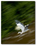 Title: Heron in Flight