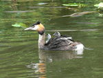 Title: Grebe with babies