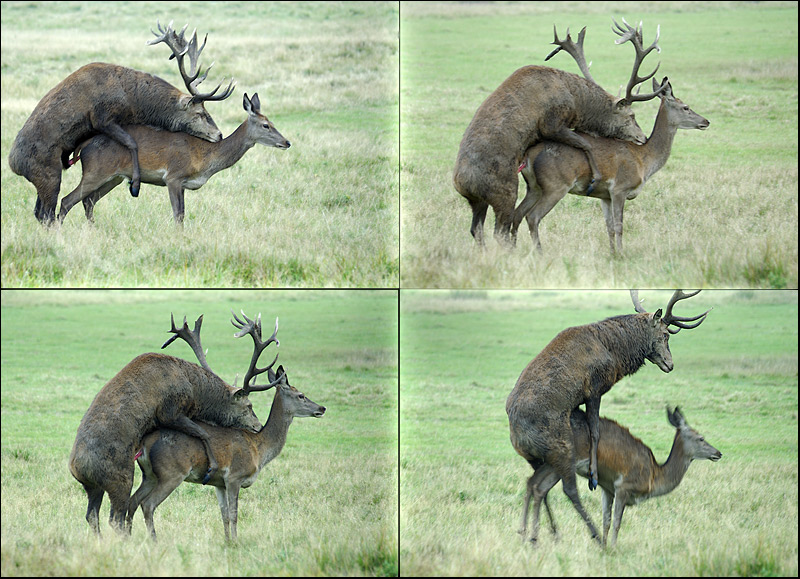 Red deer mating.