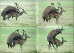 Title: Red deer mating.