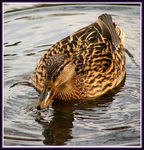 Title: ~DUCK~