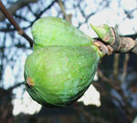 Title: Fig ...