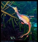 Title: Leafy Sea Dragon