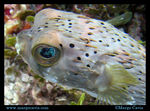 Title: Porcupinefish in Cozumel