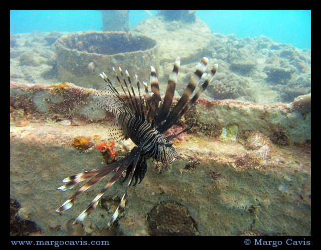 Lion Fish on a Wreck
