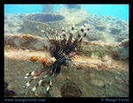 Title: Lion Fish on a Wreck
