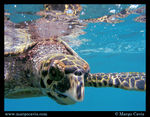 Title: Hawksbill Sea TurtleOlympus C-5060WZ