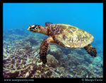 Title: Sea Turtle at Coco
