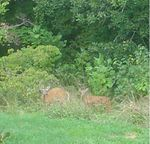 Title: Whitetail Doe and Fawn