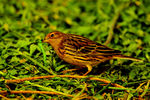 Title: red throated pipit