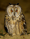 Title: long eared owl---asio otus