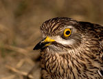 Title: stone curlew