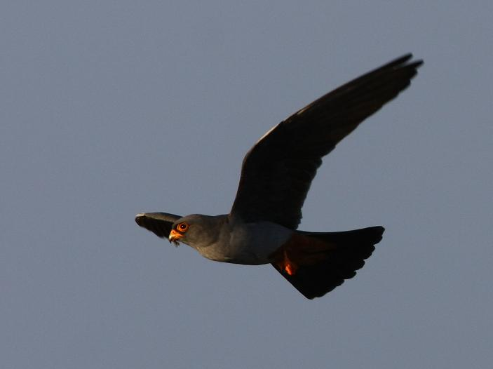 red footed falcon(male)