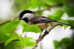 Title: Chickadee in a Tree