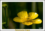 Title: Greater Spearwort