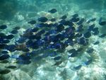 Title: School of Blue Tang