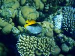 Title: Butterfly Fish