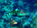 Title: Pair of Parrot Fish