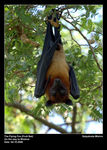 Title: The Flying Fox