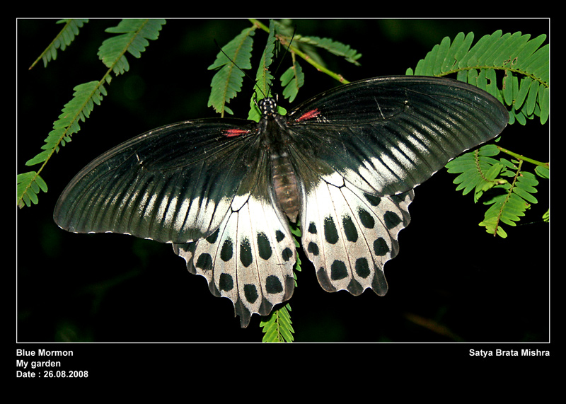 Common Blue Mormon