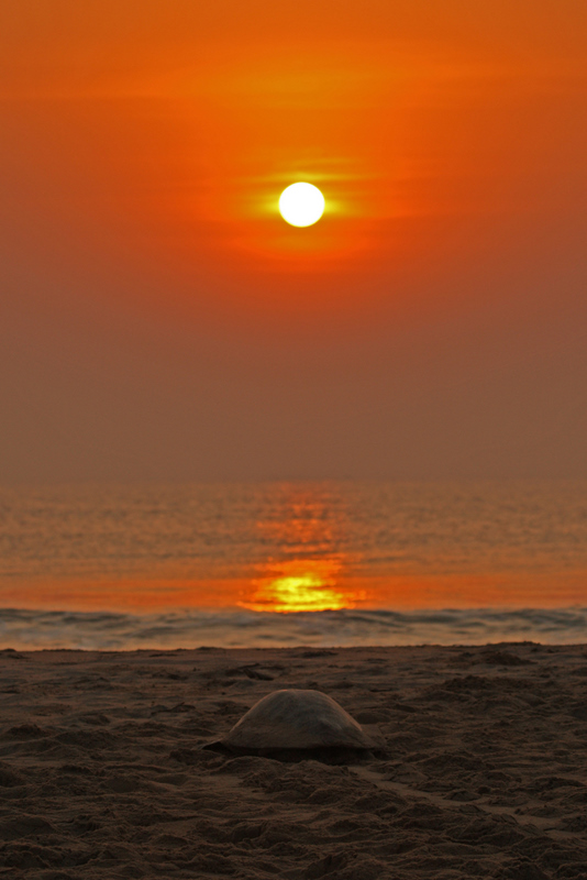 Olive Ridley at the dawn