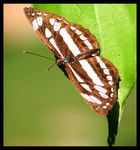 Title: The White Admiral